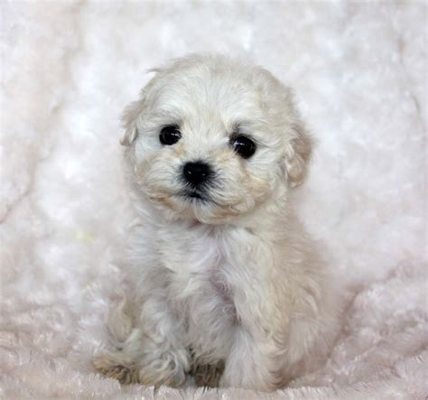 morkie teacup puppies teacup morkie puppy for sale iheartteacups