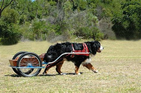 bernese mountain puppies oregon cart pulling bernese mountain dogs the best cart