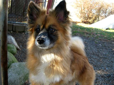 pomeranian sheltie puppies for sale pomeranian sheltie mix puppies for sale images