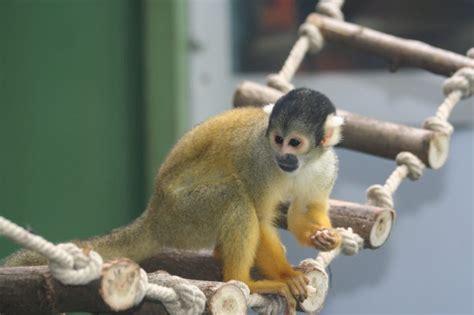 Affe Als Haustier by Affe Als Haustier Eine Gute Idee Deko Feiern Zenideen