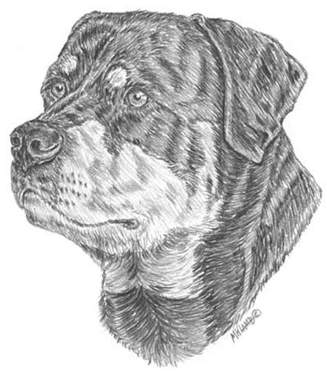 rottweiler drawings drawing from line to 187 archive 187 drawing critique