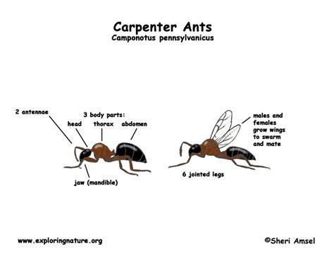 ant diagram ant diagram 28 images ant nest diagram ant anatomy