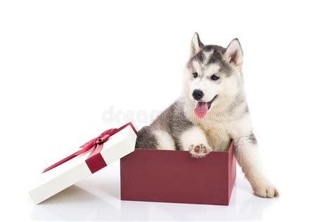 Do Mac Gift Cards Expire - white siberian husky gifts gift ftempo