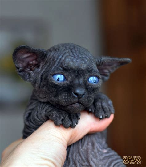 sphynx cats for sale black sphynx kittens for sale xarmax sphynx cattery