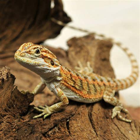 Heat L For Bearded Dragons by Captive Bred Citrus Bearded Pagona Vitticeps