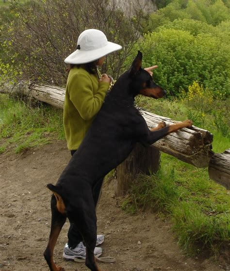 rottweiler bite comparison doberman and rottweiler comparison www pixshark images galleries with a bite