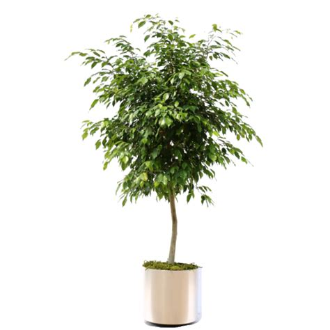 Houseplant For Low Light by Ficus Benjamina Package