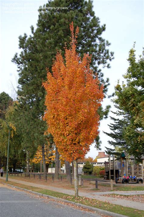 karpick maple tree plantfiles pictures maple scarlet maple karpick acer rubrum 1 by growin