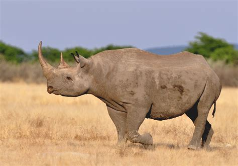 black rhino saving black rhinos through radical conservation the crux