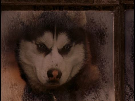 from snow dogs from snow dogs siberian huskies photo 32170974 fanpop