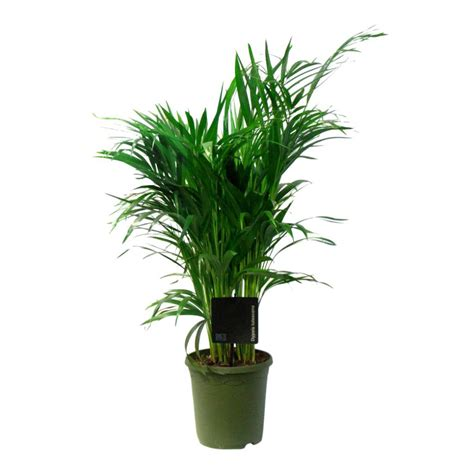 Areca Palm goudpalm areca small kopen snelle levertijd fleurdirect