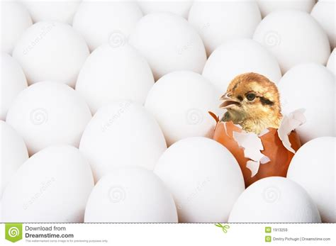 000824409x i was born for this new born chick stock image image of reproduction eggs