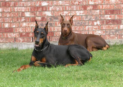 how much are doberman puppies garrett s dobermans puppy site