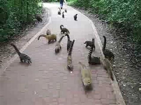 coati attack attack of the coatis at iguazu falls youtube iguazu