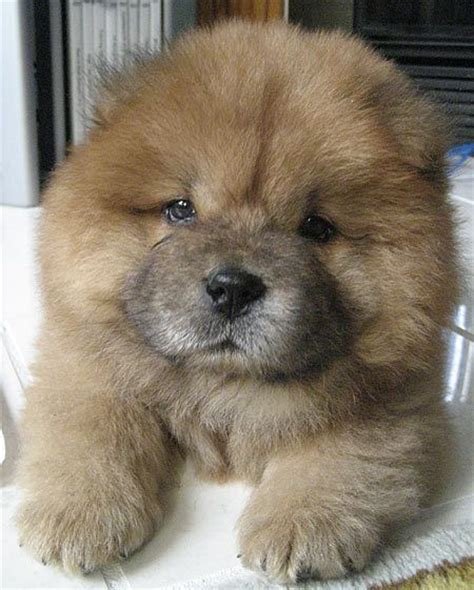 how much are chow chow puppies 10 images about chow chow on a puppys and dangerous dogs