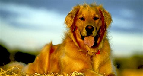 golden retriever ca golden retriever alimentazione la corretta alimentazione