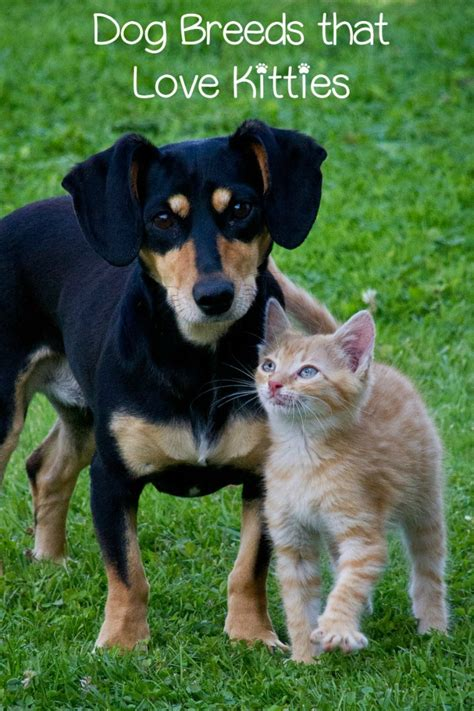 dogs with cats top breeds that get along with cats
