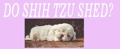 does a shih tzu shed are shih tzu hypoallergenic do shih tzu shed find out the real
