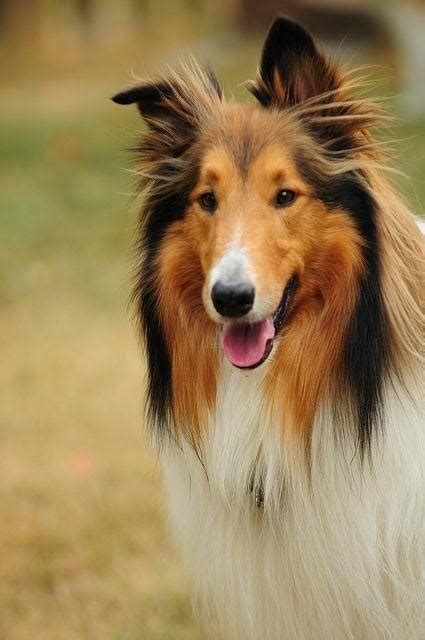 breed  dog  lassie  film  tv quora