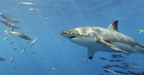 great white shark dive diving with great white sharks in guadalupe island