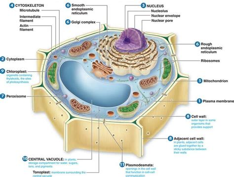 diagram of plant cell plant cell structure anatomy physiology