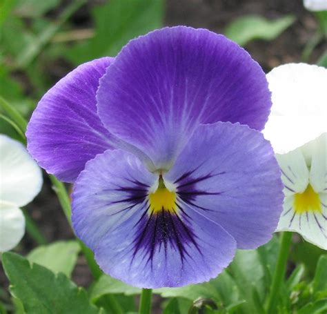 flower pic file pansy flower jpg wikimedia commons