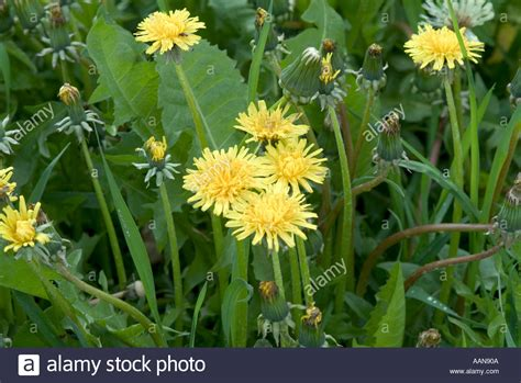gelbe blumen im rasen l 246 wenzahn unkraut im rasen sommer gelb blumen flora natur
