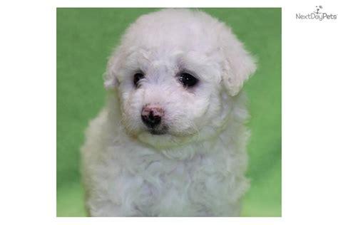 bichon frise puppies for sale in va meet virginia s a bichon frise puppy for sale for 550 virginia s