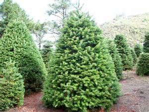 venta de 225 rboles de navidad naturales pino posot class