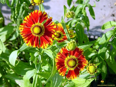 stauden sonnenblume pflege sonnenblume pflege sonnenblume pflege freizeit