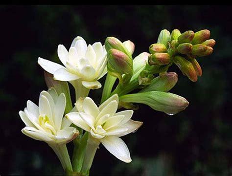 tuberosa fiore tuberosa polianthes tuberosa profumi speciali