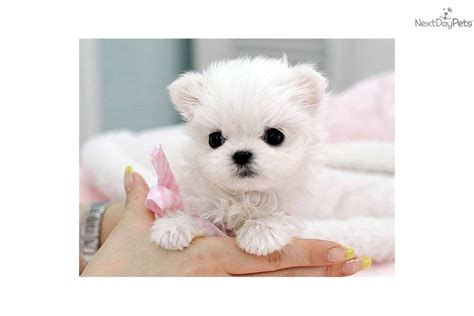 how much do maltese puppies cost computer related business how much does it cost to start dogs business for