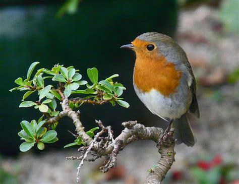 robin   garden  sylvia duckworth geograph britain