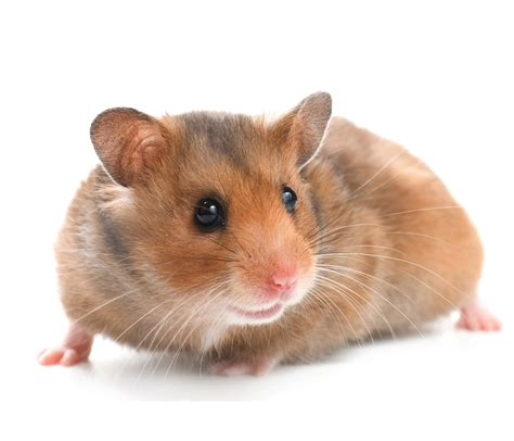 hamster with 301 moved permanently