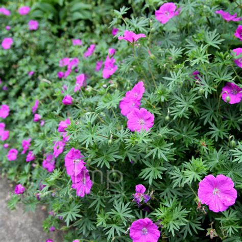 a big photo of geranium sanguineum from findmeplants