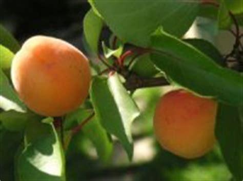 Maladie Abricotier Gommose by P 234 Chers Pruniers Cerisiers Prunus
