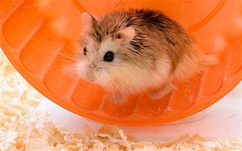 kia hamsters toys the best hamster names for your new friend