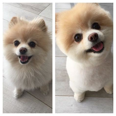 pomeranian haircuts before and after 25 best ideas about pomeranian haircut on pomeranian pups names of