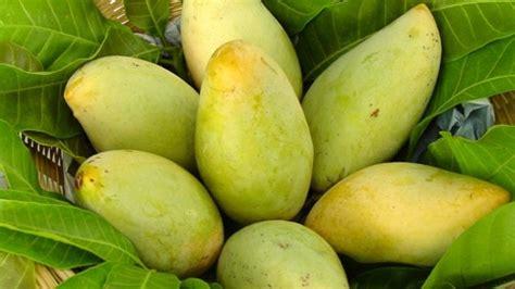 Bibit Mangga Kiojay Murah pusat distributor grosir eceran jual bibit tanaman buah