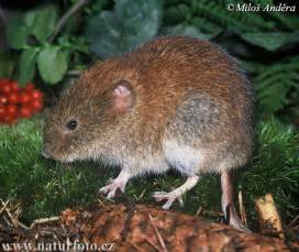 bank vole pictures bank vole images naturephoto