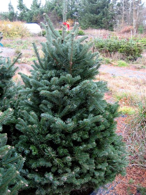 how to care for live christmas trees in the home evergrow