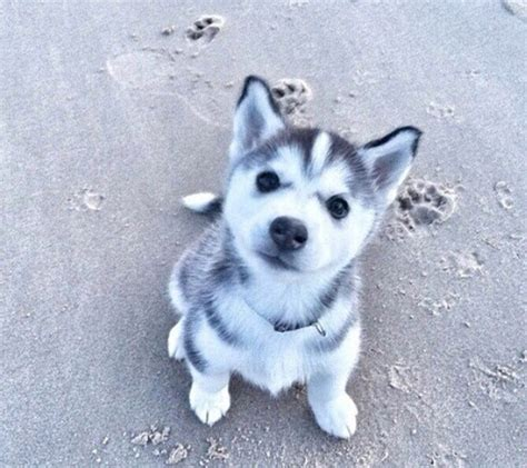 husky puppy pictures husky puppy image 4094489 by marine21 on favim