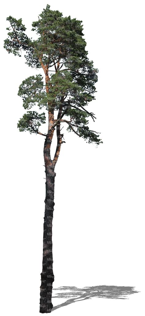 How To Make A Pine Tree Out Of Paper - cut out pine tree cut out trees and plants vishopper