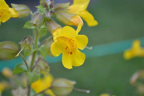 mimulus fiore di bach fiori di bach cosa sono e come si usano a supporto della