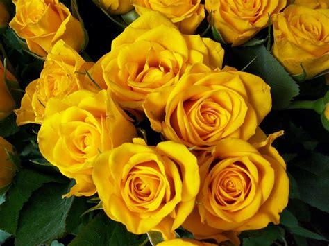 imagenes de rosas hermosas amarillas galer 237 a de im 225 genes rosas