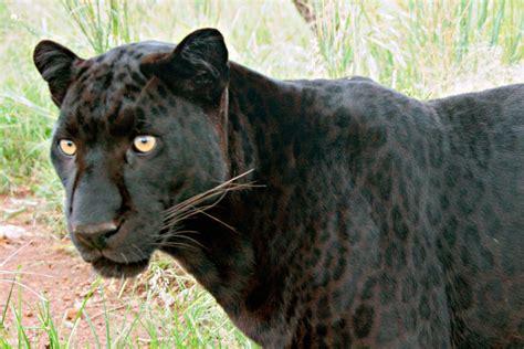 black leopard top 5 wildlife weekend getaways from bangalore