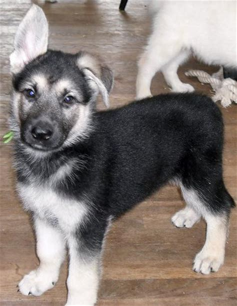 silver german shepherd puppies silver german shepherd puppies www imgkid the image kid has it