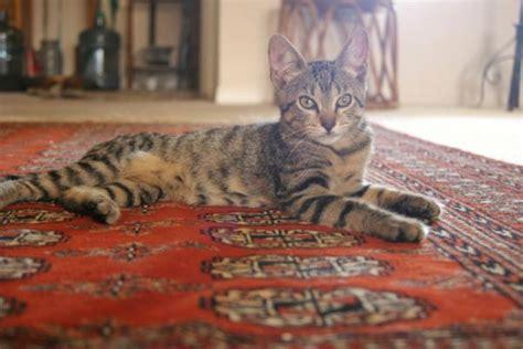 come tenere un gatto in casa i gatti soffrono a stare sempre in casa