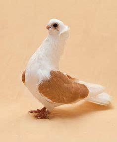 Pigeon 2 Pa pin tillagd av gennady biryukov p 229 pigeons голуби