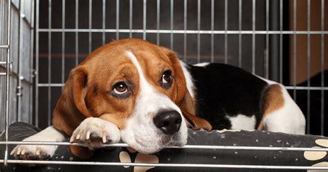cani in gabbia in gabbia durante le assenze buona o cattiva idea